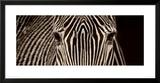 Zebra Grevy Framed Giclee Print by Marina Cano