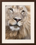 Male Lion (Panthera Leo), Addo National Park, Eastern Cape, South Africa, Africa Framed Photographic Print by Ann & Steve Toon