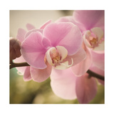 Orchid Affair Posters by Marlana Semenza
