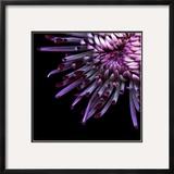 Spider Chrysanthemum Framed Photographic Print by Magda Indigo
