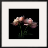 Peony Framed Photographic Print by Magda Indigo