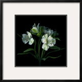 White Alstroemeria Framed Photographic Print by Magda Indigo