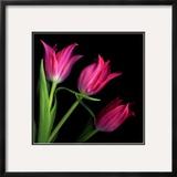 Star Tulips Framed Photographic Print by Magda Indigo