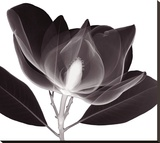 Magnolia Stretched Canvas Print by Steven N. Meyers