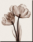 Parrot Tulips II Stretched Canvas Print by Steven N. Meyers