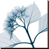 Hydrangeas - Positive (Right) Stretched Canvas Print by Steven N. Meyers