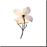 Dogwood 2 Stretched Canvas Print by Steven N. Meyers