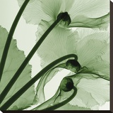 Cyclamen (oversize) Stretched Canvas Print by Steven N. Meyers