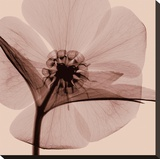Hellebore Stretched Canvas Print by Steven N. Meyers