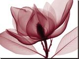 Steven N. Meyers - Red Magnolia I Reprodukce na plátně