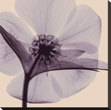 Hellebore (small) Stretched Canvas Print by Steven N. Meyers