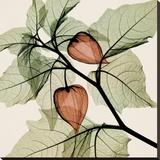 Steven N. Meyers - Japanese Lantern Reprodukce na plátně