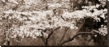 Cherry Blossoms Stretched Canvas Print by Steven N. Meyers