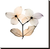 Dogwood Stretched Canvas Print by Steven N. Meyers