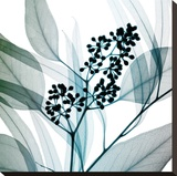 Eucalyptus Stretched Canvas Print by Steven N. Meyers