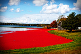 Cranberry Bog Giclee Print by Jobe Waters