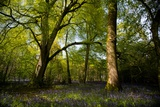 Sunlight in Spring Woodland Photographic Print by Rory Garforth
