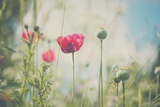 Red Poppy in Field Photographic Print by Laura Evans