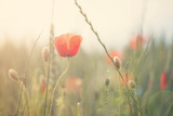 Red Poppy in a Field Photographic Print by Laura Evans