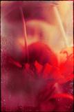 Mia Friedrich - Red Flowers - Fotografik Baskı