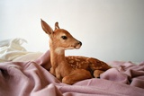 Baby Deer on Bed Photographic Print by Kimberley Ross