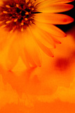 Burnt Orange - Aster Textured Photographic Print by Catherine Hoggins