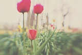 Red Tulips and Dafodils Photographic Print by Laura Evans