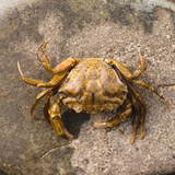 Crab at Seaside Photographic Print by Clive Nolan