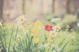Daffodil and Red Tulip Photographic Print by Laura Evans
