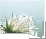 Water Droplets on Flower Posters par Laura Evans