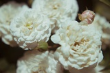 White Flowers Photographic Print by Carolina Hernandez