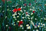 Flowers in Field Photographic Print by Bernardo Bonnefon