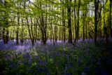 Bluebells in Woods Photographic Print by Rory Garforth