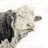 Close Up of Bull's Head Fotografisk tryk af Mark Gemmell