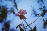 Autumn Rose Photographic Print by Carolina Hernandez