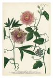 Antique Passion Flower I Giclee Print by  Weinmann