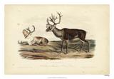 Caribou Wydruk giclee autor John Audubon