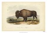 American Bison Giclee Print by John Audubon