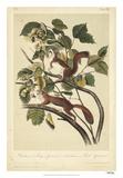 Audubon Squirrel II Giclee Print by John Audubon
