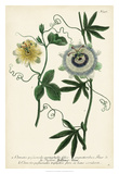 Antique Passion Flower II Giclee Print by  Weinmann