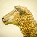 Sheeps Head Photographic Print by Mark Gemmell