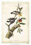 Downy Woodpecker Reproduction procédé giclée par John Audubon