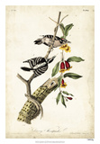 Downy Woodpecker Giclee Print by John Audubon