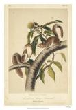Audubon Squirrel I Giclee Print by John Audubon