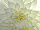 Close Up of a White Dahlia Flower Metal Print by Raul Touzon