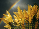 Pampas Grass and Rainbow, Sedona, Arizona, USA Metal Print by Margaret L. Jackson