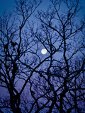 The Full Moon Peaks Between the Bare Branches of a White Oak Tree Metal Print by Amy & Al White & Petteway