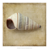 Sepia Shell IV Posters by Judy Stalus
