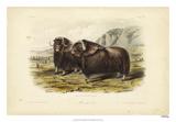 Musk Ox Giclee Print by John Audubon