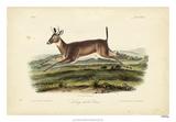 Long-tailed Deer Giclee Print by John Audubon